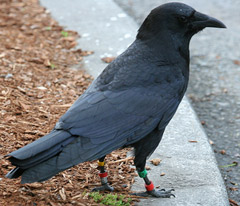 Banded crows from the University of Washington