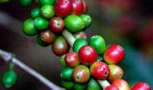 Panama Esmeralda Geisha La hacienda Coffee