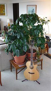 Colin's coffee plant menagerie